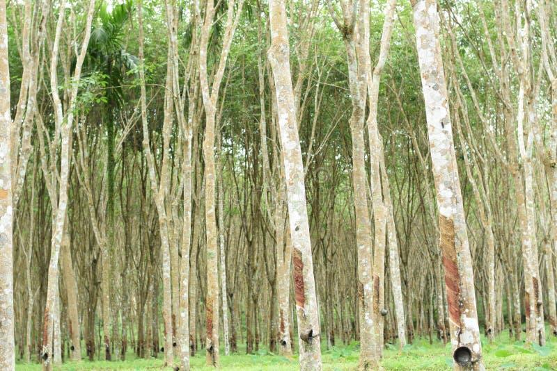 Látex lechoso extraído del árbol de goma, fuente de árbol de goma natural en la ubicación de Tailandia fotografía de archivo