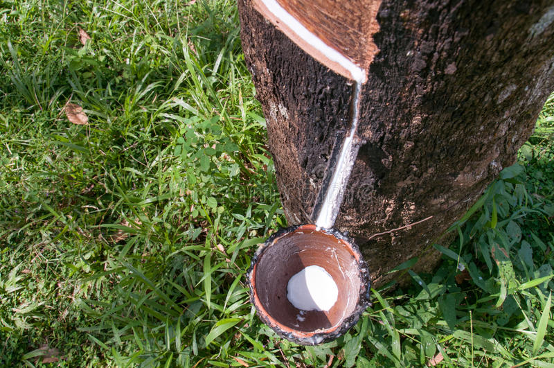 Látex leitoso extraído da árvore da borracha foto de stock royalty free