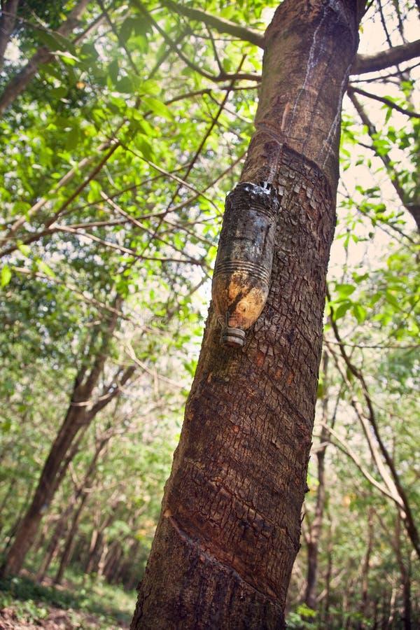 Látex leitoso extraído da árvore da borracha imagens de stock royalty free