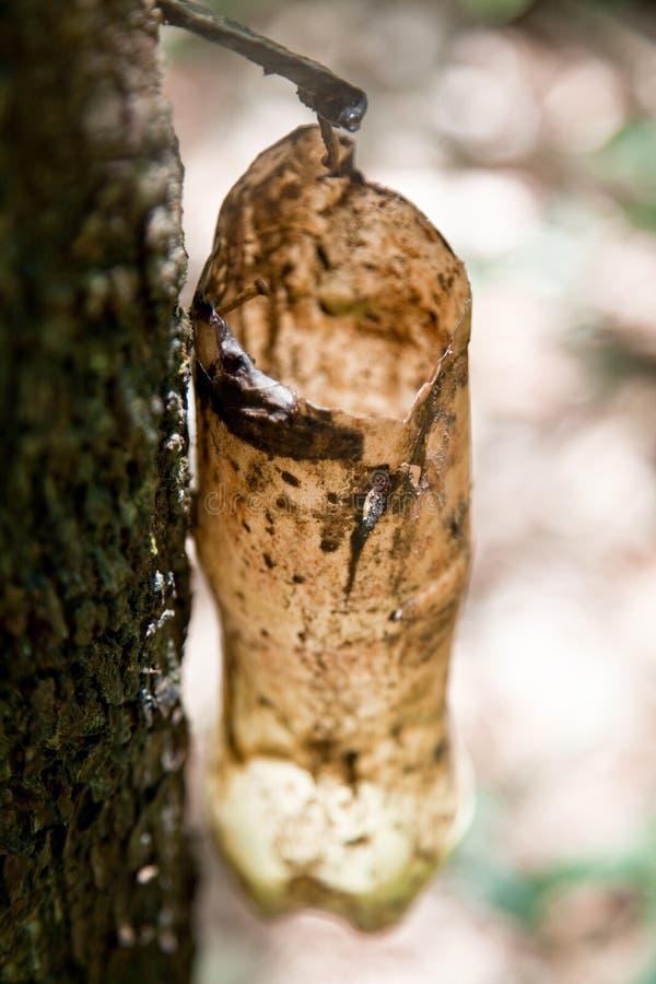 Látex leitoso extraído da árvore da borracha fotos de stock royalty free