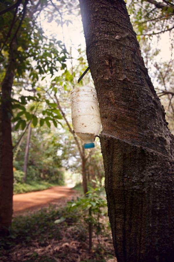 Látex leitoso extraído da árvore da borracha foto de stock