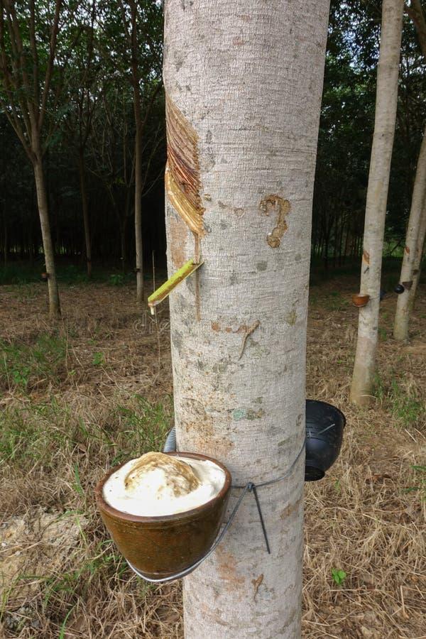 Látex leitoso extraído da árvore da borracha como uma fonte de ru natural imagens de stock
