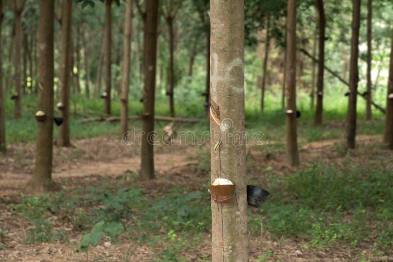 Látex leitoso extraído da árvore da borracha como uma fonte de ru natural fotografia de stock