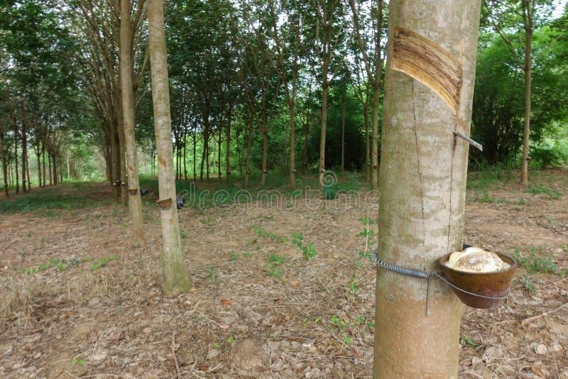 Látex leitoso extraído da árvore da borracha como uma fonte de ru natural foto de stock