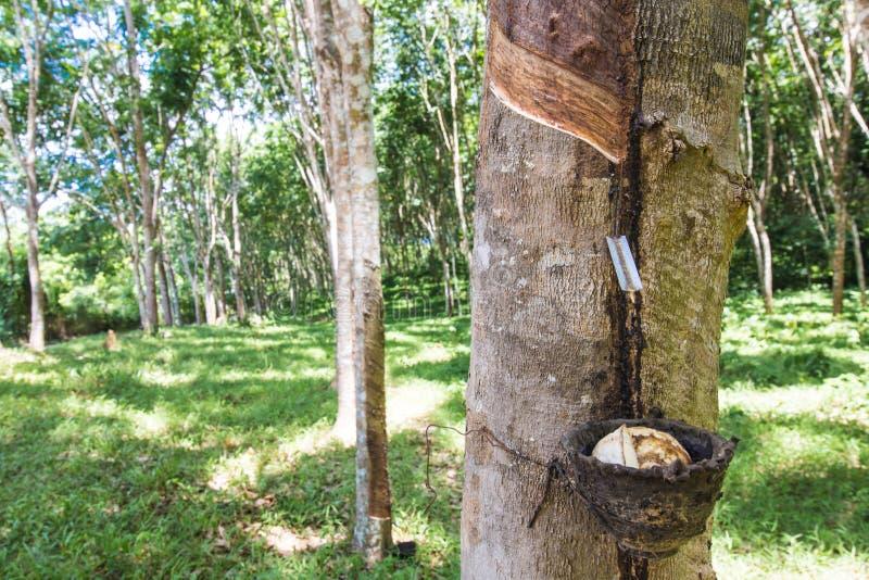 Látex leitoso extraído da árvore da borracha (hévea Brasiliensis) fotos de stock royalty free