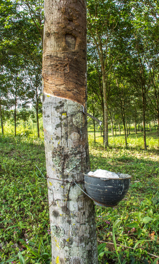 Látex leitoso extraído da árvore da borracha, Loei, Tailândia foto de stock