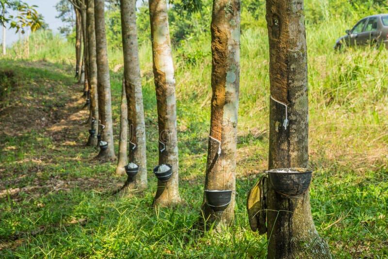 Látex leitoso extraído da árvore da borracha, Loei, Tailândia imagem de stock
