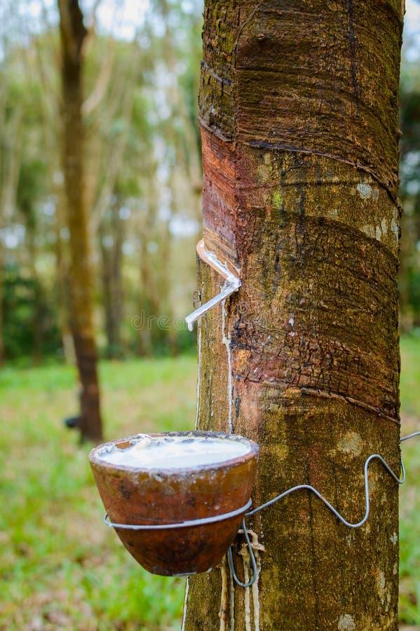 Látex leitoso extraído da hévea Brasiliensis da árvore da borracha como uma fonte de borracha natural fotos de stock
