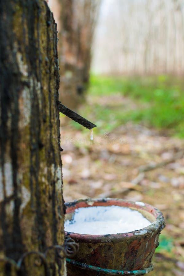 Látex leitoso extraído da hévea Brasiliensis da árvore da borracha como uma fonte de borracha natural foto de stock royalty free