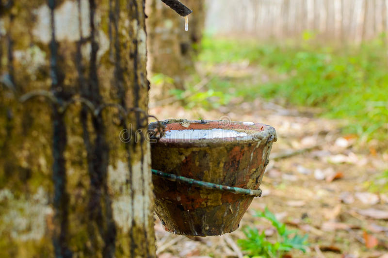 Látex leitoso extraído da hévea Brasiliensis da árvore da borracha como uma fonte de borracha natural fotografia de stock