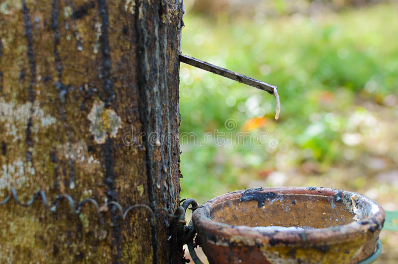Látex leitoso extraído da hévea Brasiliensis da árvore da borracha como uma fonte de borracha natural foto de stock