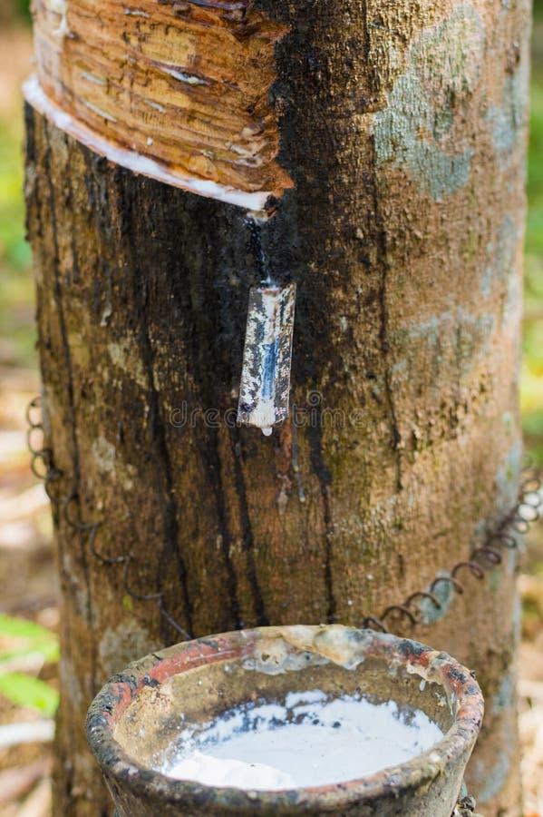 Látex leitoso extraído da hévea Brasiliensis da árvore da borracha como uma fonte de borracha natural imagem de stock