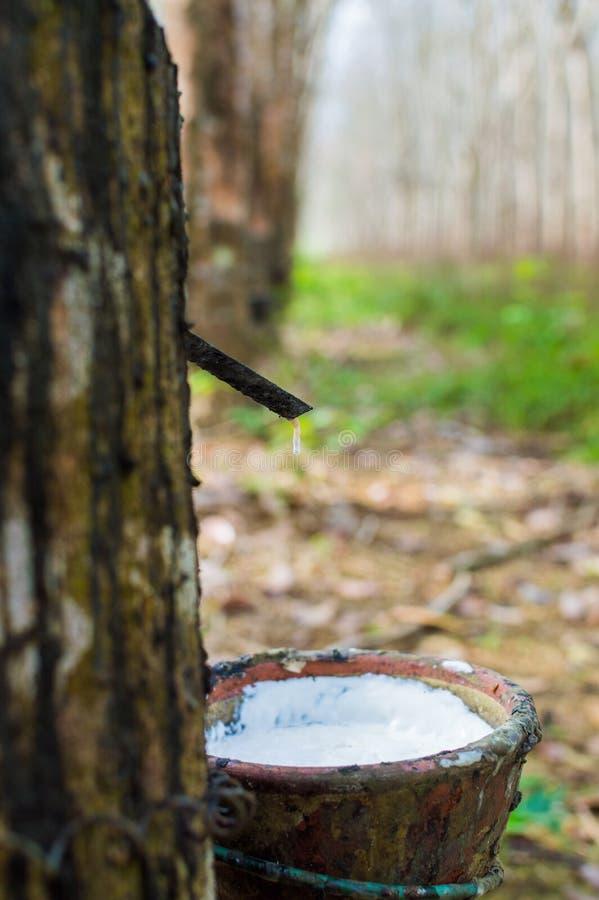 Látex leitoso extraído da hévea Brasiliensis da árvore da borracha como uma fonte de borracha natural fotografia de stock royalty free