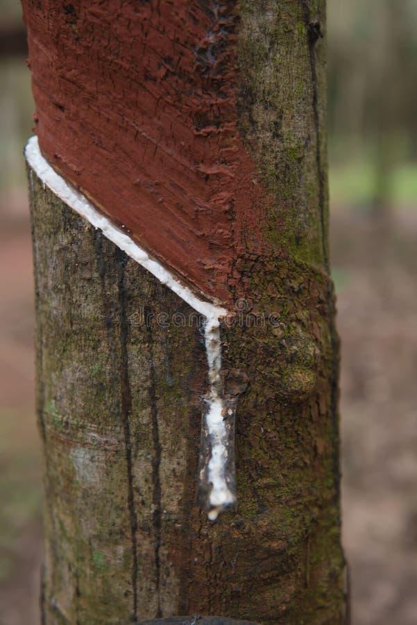 Látex leitoso fresco extraído da árvore da borracha de para imagens de stock royalty free