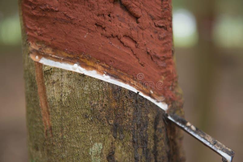 Látex leitoso fresco extraído da árvore da borracha de para imagem de stock royalty free