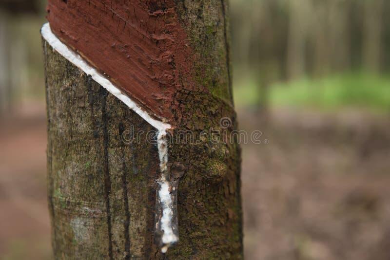 Látex leitoso fresco extraído da árvore da borracha de para fotografia de stock