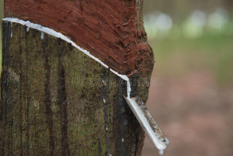 Látex leitoso fresco extraído da árvore da borracha de para foto de stock