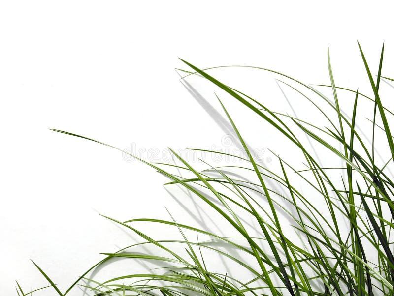 Lâmina de grama verde fotos de stock
