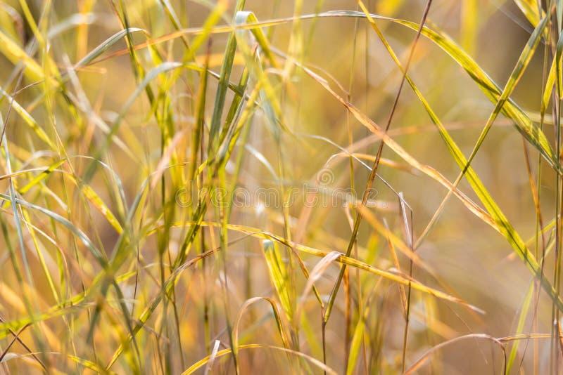 Lâminas amarelas do outono do fim da grama acima fotografia de stock royalty free