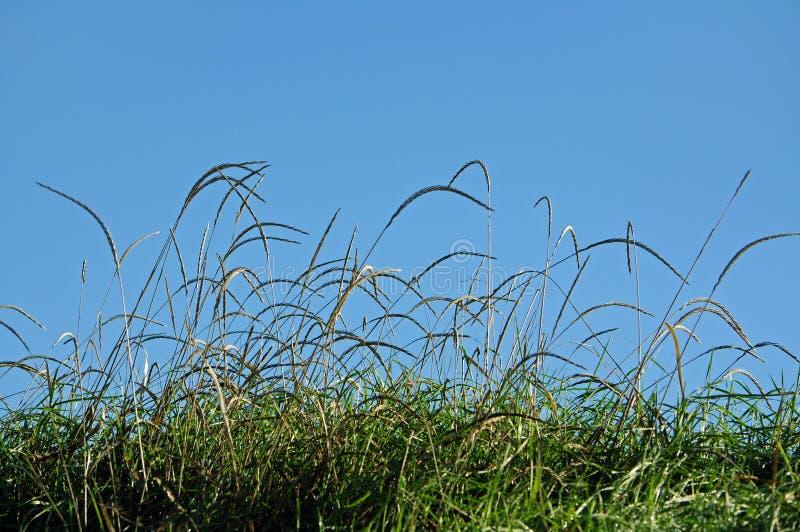 Lâminas da grama sobre o céu azul fotografia de stock royalty free