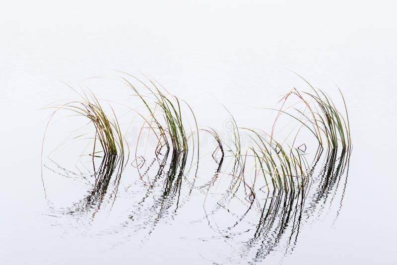 Lâminas de grama na água fotos de stock