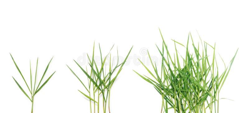 Lâminas longas da grama verde sobre o fundo branco foto de stock royalty free