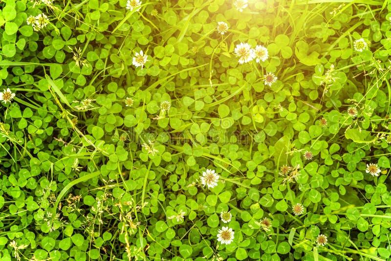 Lâmpada com flores brancas de trevo e grama verde imagem de stock