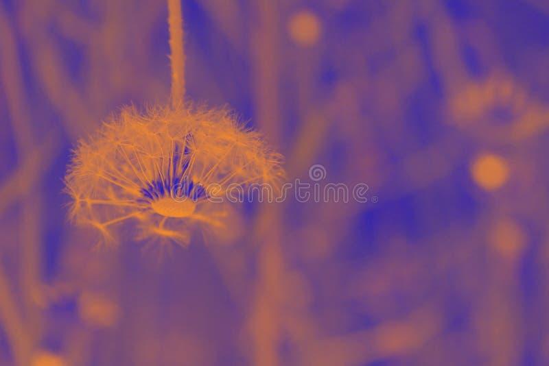 A lâmpada do dente-de-leão é as cores alaranjadas e roxas do sol fotos de stock royalty free