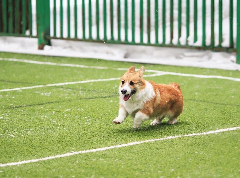 Läuft roter Corgi Hunderasse des netten kleinen Welpen um den grünen Fußballplatz auf dem Spielplatz auf den Straßen in der Stadt lizenzfreie stockfotografie