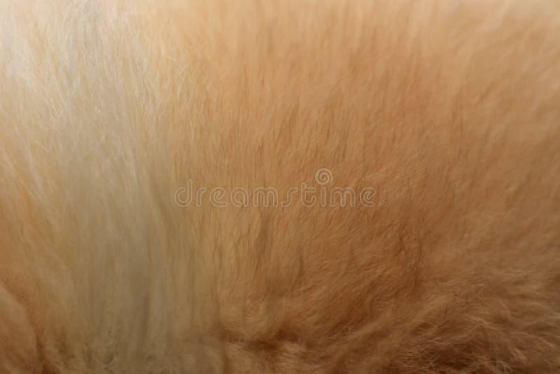Lãs Chow Chow Dog Close Up foto de stock