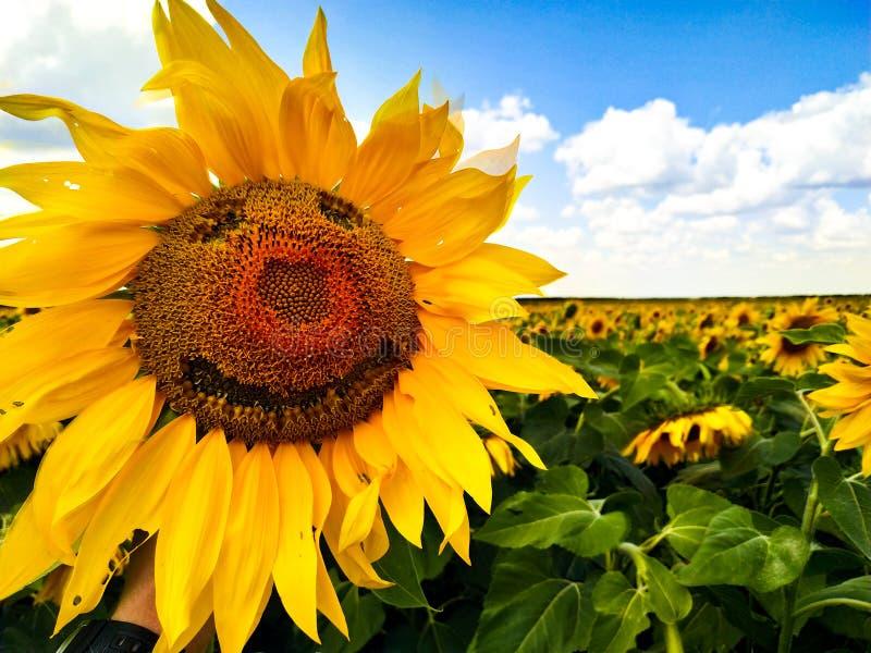 Lächeln auf Sonnenblume auf dem mittleren Gebiet stockfoto