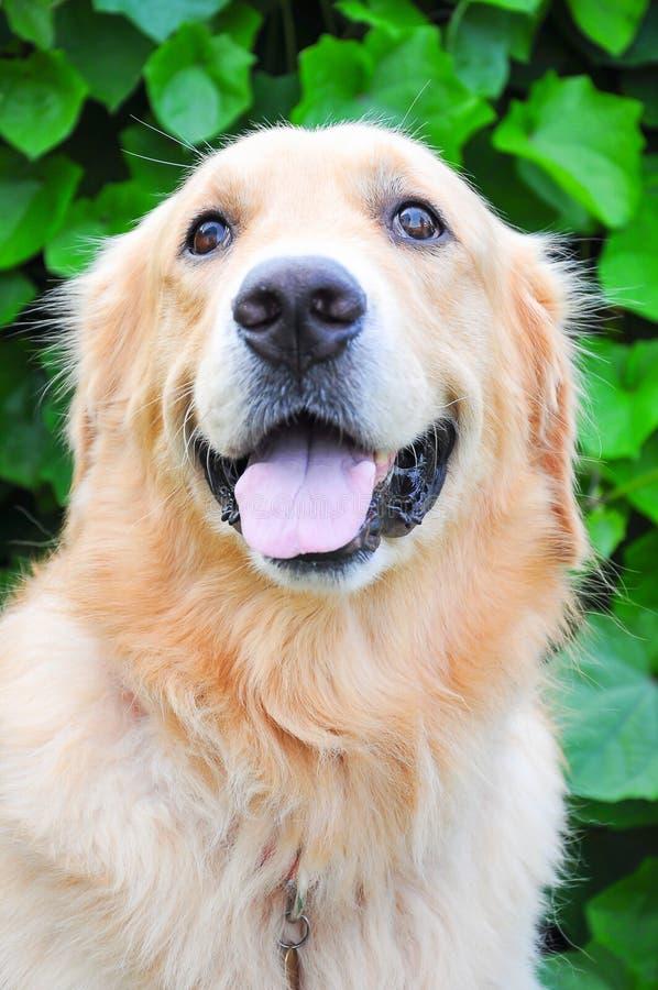 Lächeln des goldenen Apportierhunds stockfotos