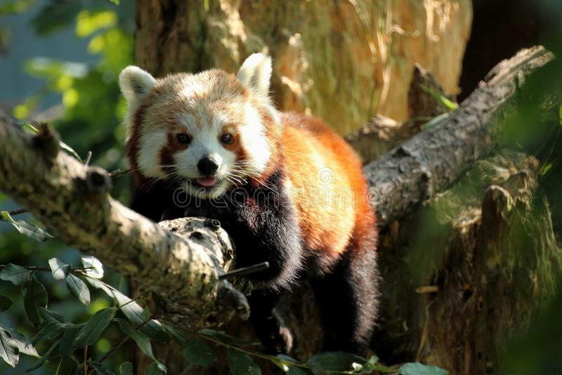 Lächeln des roten Pandas stockbilder
