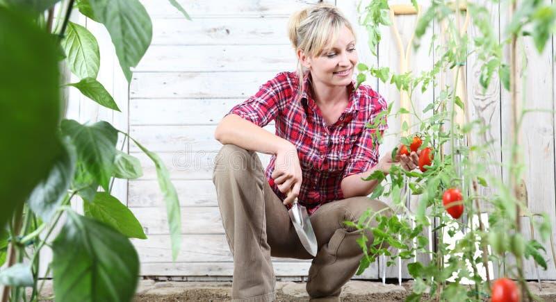 Lächelnde Frau im Gemüsegarten, arbeitend mit Gartenkelle-Werkzeug- und Kontrollkirschtomatenpflanzen auf weißer hölzerner Halle stockbilder