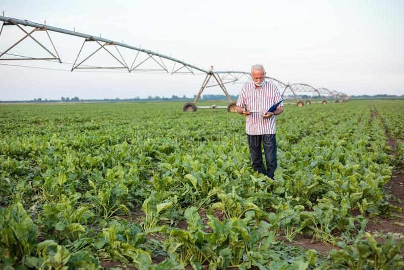 Lächelnde graue behaarte ältere nehmende und Untersuchungsbodenproben des Agronomen oder des Landwirts auf einem Sojabohnenöl- od stockfotografie