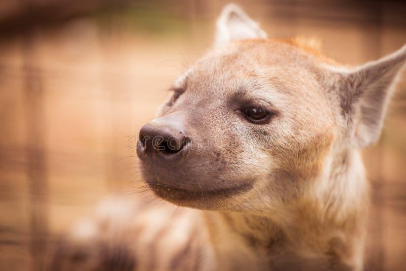 Lächelnde Hyäne im Zoo lizenzfreie stockfotos