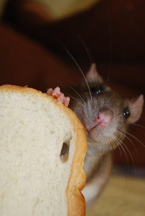 Lächelnde Ratte mit Brot lizenzfreie stockfotos