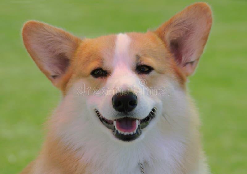 Lächelnder Corgi lizenzfreie stockbilder