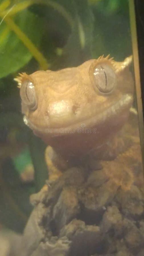 Lächelnder Gecko mit Haube stockfoto