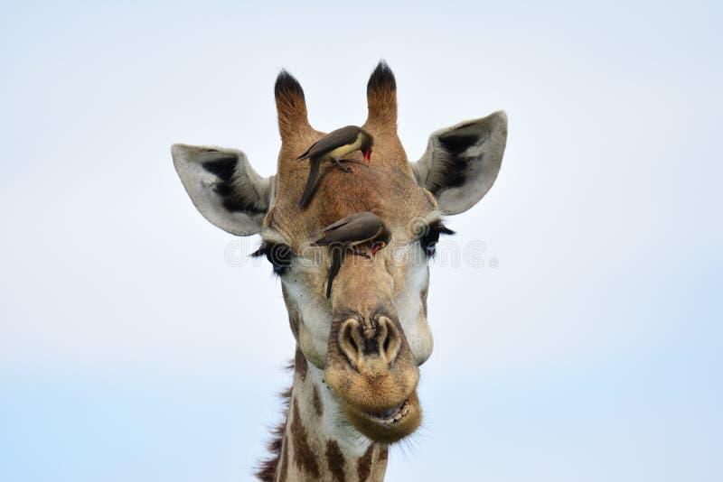 Lächelnder Giraffenkopf lizenzfreies stockfoto