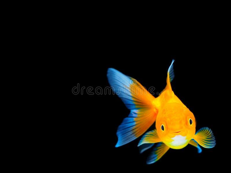 Lächelnder Goldfisch auf schwarzem Hintergrund, Goldfischschwimmen auf schwarzem Hintergrund, Goldfisch, dekorative Aquariumfisch stockfotografie
