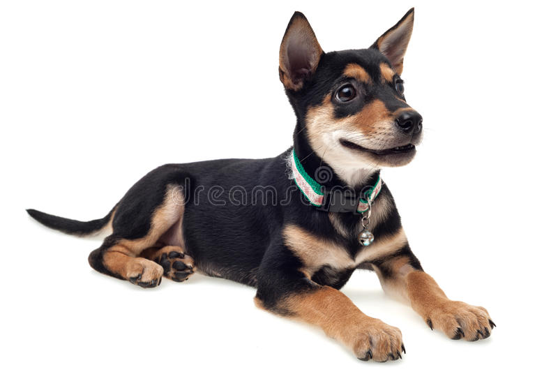 Lächelnder Hund stockbilder