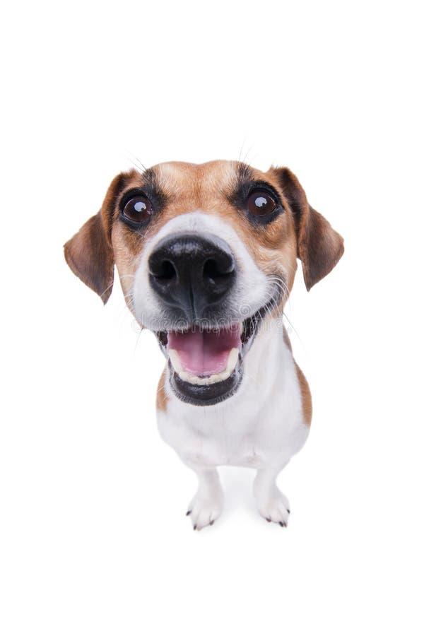 Lächelnder Jack Russel-Terrierhund. lizenzfreie stockbilder