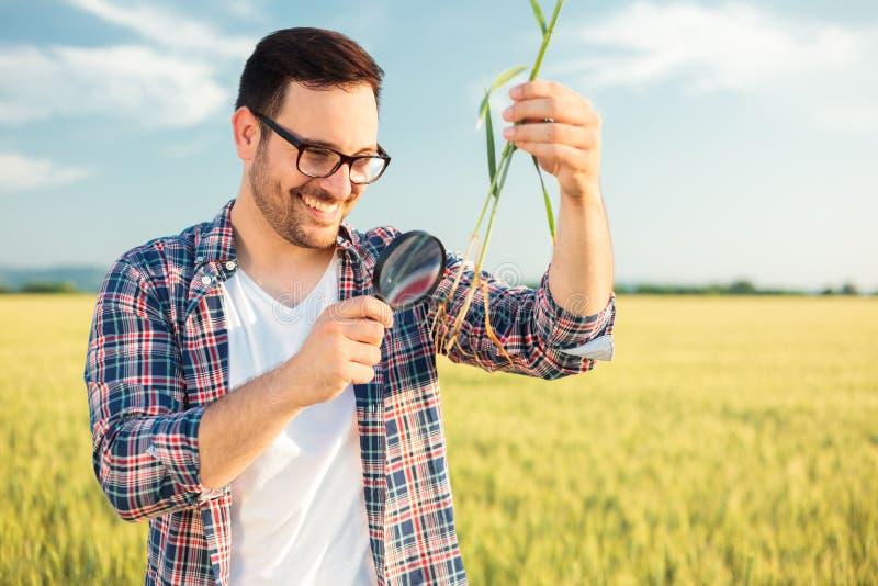 Lächelnder junger Agronom oder Landwirt, die Weizenpflanzenwurzel mit einer Lupe kontrollieren stockfotografie