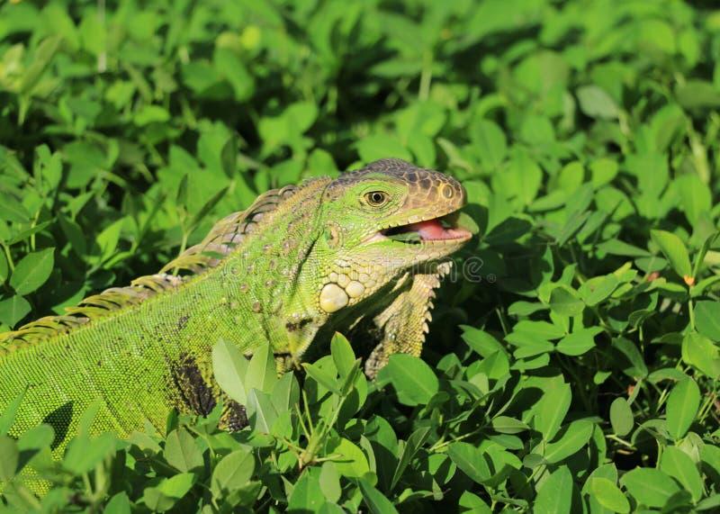 Lächelnder Leguan im Gras lizenzfreie stockfotografie