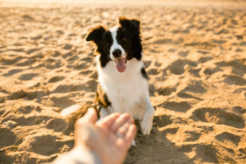 Lächelnder lustiger border collie-Hund auf Strand Meer auf Hintergrund stockfotografie