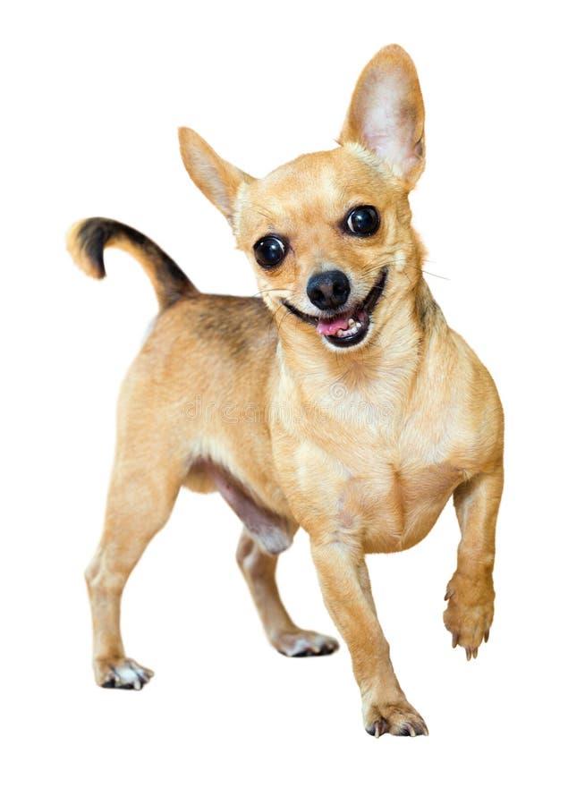 Lächelnder Mini Toy Terrier lizenzfreie stockfotografie