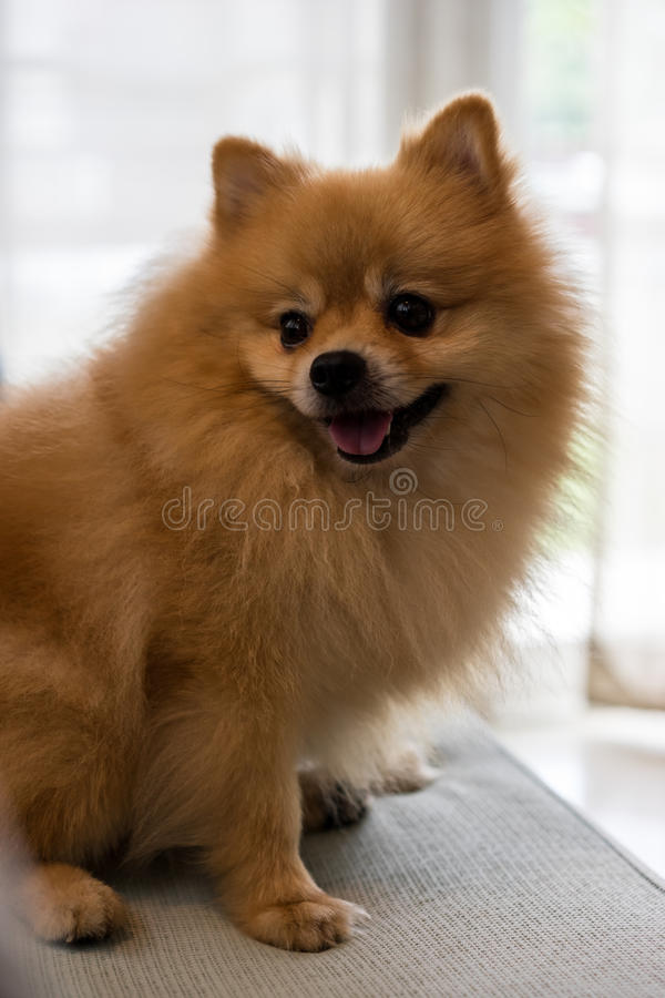 Lächelnder Nahaufnahmehund-pomeranian Spitz, selektiver Fokus stockfotos