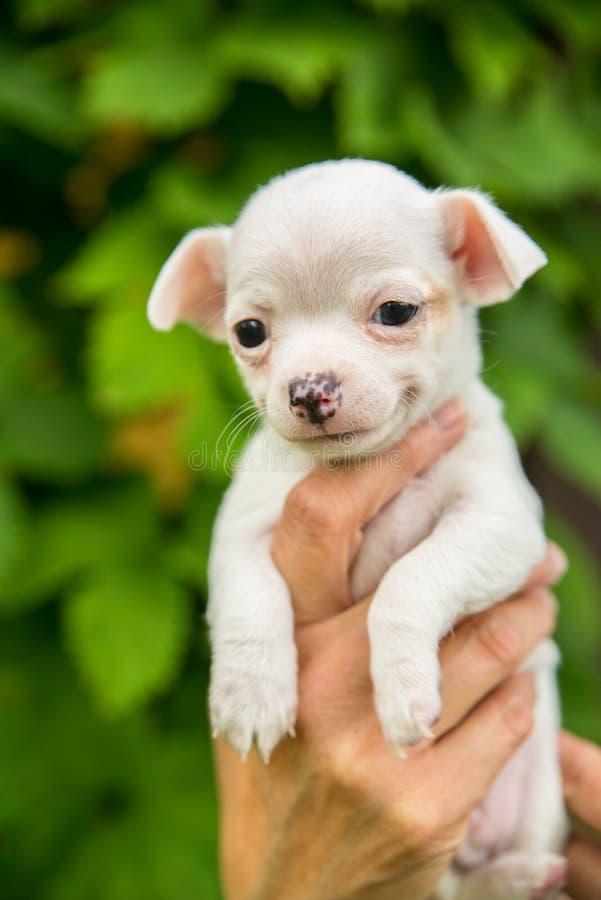 Lächelnder netter weißer Chihuahuawelpe stockfotografie