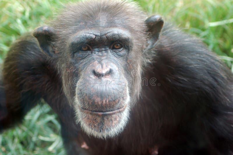 Lächelnder Schimpanse stockbild